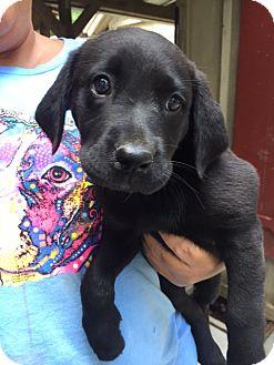 Labrador Retriever/Terrier (Unknown Type, Medium) Mix Puppy for adoption in Cashiers, North Carolina - Baja