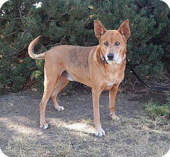 Welsh Corgi/Shepherd (Unknown Type) Mix Dog for adoption in The Dalles, Oregon - Opie