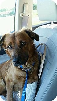 Golden Retriever/Labrador Retriever Mix Dog for adoption in Elyria, Ohio - Yogi