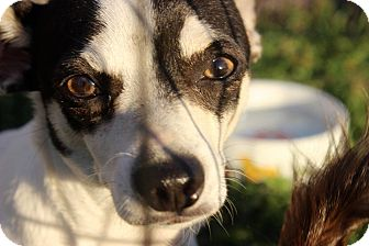 Rat Terrier Mix Dog for adoption in Middleton, Wisconsin - Simon