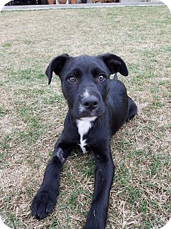Irish Wolfhound Mix Puppy for adoption in Plano, Texas - Joni