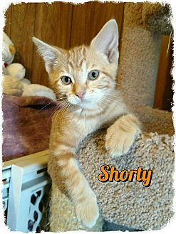 Domestic Shorthair Kitten for adoption in Pueblo West, Colorado - Shorty