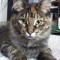 Adopt A Pet :: Pipi - Walled Lake, MI