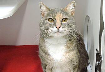 Domestic Shorthair Cat for adoption in Park City, Utah - Marilou