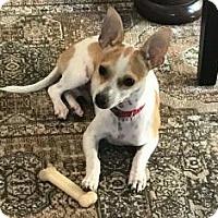 Adopt A Pet :: Louie - Kansas City, MO
