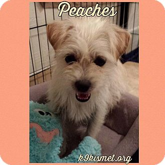 Terrier (Unknown Type, Small) Mix Dog for adoption in Hawthorne, California - Peaches