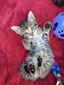Domestic Shorthair/Domestic Shorthair Mix Cat for adoption in Denver, Colorado - Sparrow