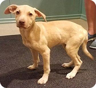 Labrador Retriever/Hound (Unknown Type) Mix Puppy for adoption in Hammonton, New Jersey - Sadie
