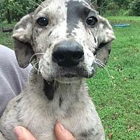 Adopt A Pet :: Leif - Trenton, NJ