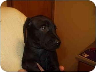 Weimaraner/Golden Retriever Mix Puppy for adoption in Parma, Ohio - SAGE