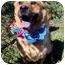 Photo 1 - Chow Chow/Shepherd (Unknown Type) Mix Dog for adoption in Huntington, New York - Collin