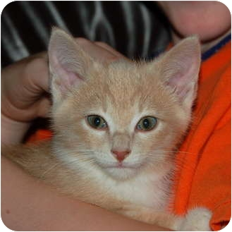 Domestic Shorthair Kitten for adoption in Rockville, Maryland - Geronimo
