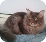 Domestic Longhair Cat for adoption in Anchorage, Alaska - Ceasar