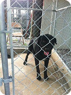 Labrador Retriever/Labrador Retriever Mix Dog for adoption in Donaldsonville, Louisiana - name to be given