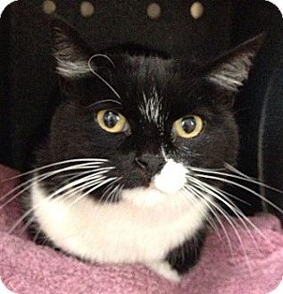 Domestic Shorthair Cat for adoption in Dublin, California - Sasha