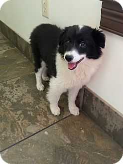 Border Collie Puppy for adoption in Russellville, Kentucky - Hillie