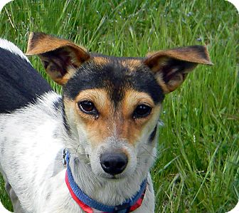 Jack Russell Terrier Mix Dog for adoption in Mountain Center, California - Milo