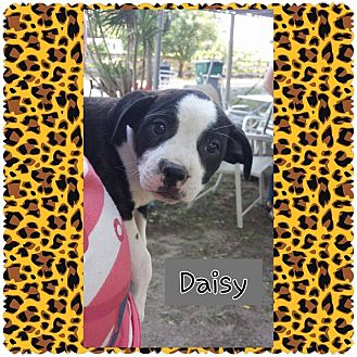 Pit Bull Terrier/Terrier (Unknown Type, Medium) Mix Puppy for adoption in Fowler, California - Daisy