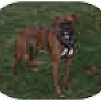 Adopt A Pet :: Dozer - North Haven, CT