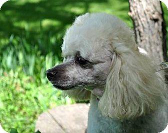 Poodle (Toy or Tea Cup) Dog for adoption in Elk River, Minnesota - BLONDIE