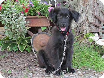 Labrador Retriever Mix Puppy for adoption in Hartford, Connecticut - LANDON