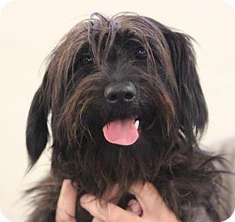 Yorkie, Yorkshire Terrier/Scottie, Scottish Terrier Mix Dog for adoption in Atlanta, Georgia - Leonard