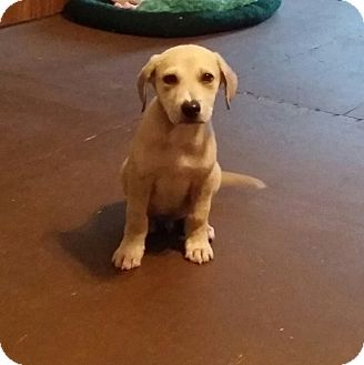 Labrador Retriever/Hound (Unknown Type) Mix Puppy for adoption in Albany, New York - Cincho
