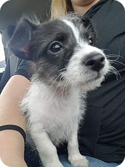 Chihuahua/Poodle (Miniature) Mix Puppy for adoption in Mesa, Arizona - Tobi