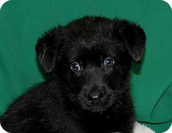 Husky/Belgian Shepherd Mix Puppy for adoption in Portola, California - Midnight