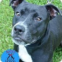 Adopt A Pet :: Eclipse - Bradenton, FL