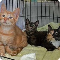 Adopt A Pet :: Butterscotch - Merrifield, VA