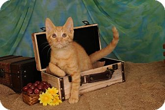 Domestic Shorthair Kitten for adoption in mishawaka, Indiana - Jaxon