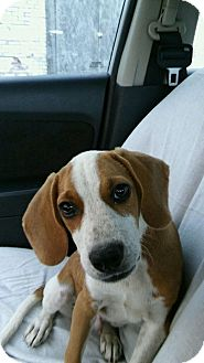 Beagle Mix Puppy for adoption in East Hartford, Connecticut - Boaz in CT