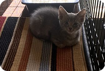 Domestic Shorthair Kitten for adoption in Scottsdale, Arizona - Toulouse