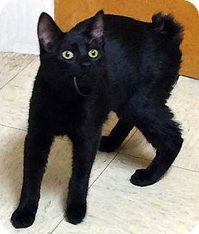 Manx Cat for adoption in Tiburon, California - Ori