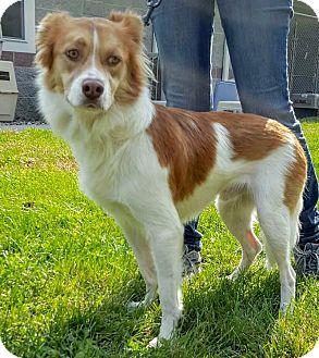 Australian Shepherd Mix Dog for adoption in Lafayette, New Jersey - Denver