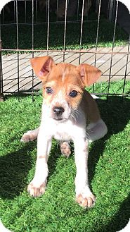 Yorkie, Yorkshire Terrier/Chihuahua Mix Puppy for adoption in Carson, California - HOOK