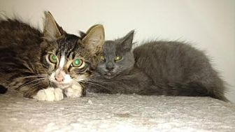 Russian Blue Cat for adoption in Atlanta, Georgia - Smokey and Bandit