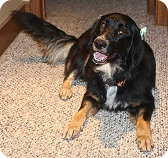 Australian Shepherd/Collie Mix Dog for adoption in Lansing, Kansas - Fiona