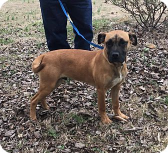 Boxer/Shepherd (Unknown Type) Mix Puppy for adoption in Hagerstown, Maryland - Tank