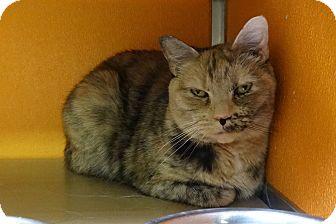 Domestic Shorthair Cat for adoption in Elyria, Ohio - Honey