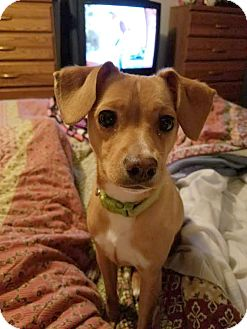 Chihuahua/Terrier (Unknown Type, Small) Mix Puppy for adoption in Eden, North Carolina - Daisy