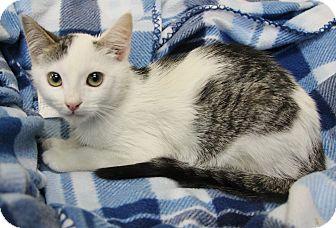 Domestic Shorthair Kitten for adoption in Benbrook, Texas - Ben