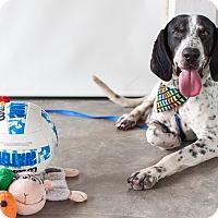 Adopt A Pet :: Blue - Nanaimo, BC