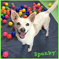 Adopt A Pet :: Spunky - Phoenix, AZ