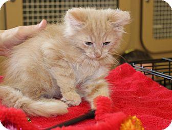 Domestic Shorthair Kitten for adoption in Las Vegas, Nevada - BASIL