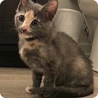 Domestic Shorthair Kitten for adoption in Huntsville, Alabama - Sylvie