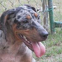 Adopt A Pet :: Darma - Carthage, AR