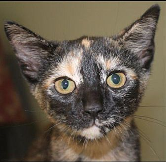 Domestic Shorthair Cat for adoption in Crossville, Tennessee - Shelby