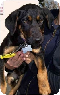 German Shepherd Dog Mix Puppy for adoption in West Los Angeles, California - Ebony